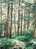 台ヶ峰サワラ植物群落保護林