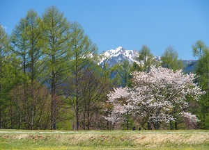 桜にカラマツの芽吹き
