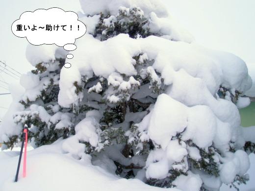 雪が重いイチイ