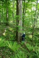 カツラの大径木