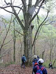 ブナの大径木