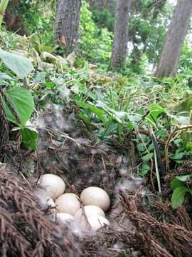 カモの卵を発見!