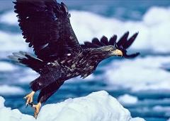 飛び立つオジロワシ