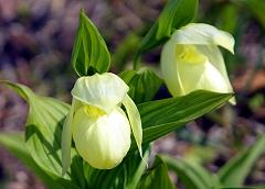 かわいらしく咲いたレブンアツモリソウ