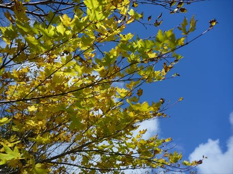 ミネカエデの木