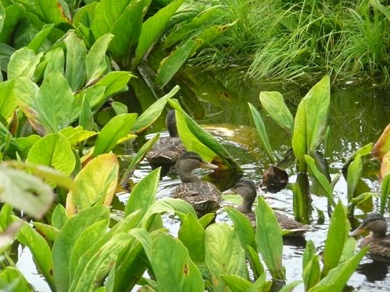 登山道入口から一合目中間付近位枝沼ではカルガモの親子が羽を休めています