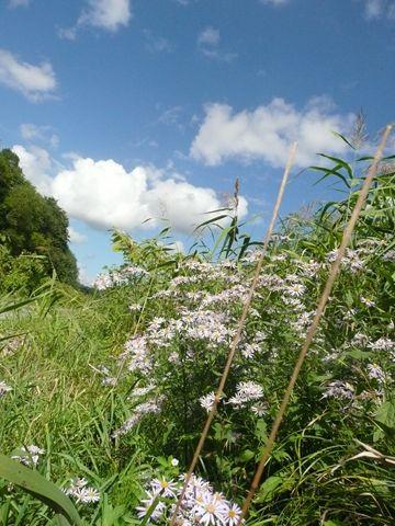 炭鉱沢林道途中の野菊と雲の様子
