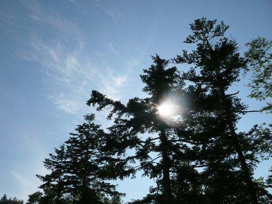 青空と太陽の元、トドマツをシルエットで写してみました