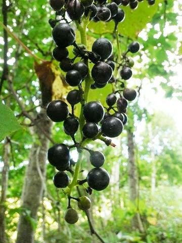 ダムの沢林道内で山ブドウが熟しています