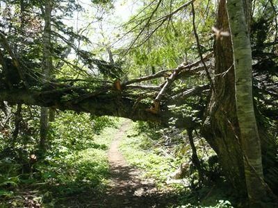 トドマツの大木が倒れていました