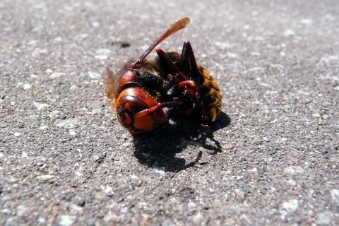 偶然、リュックに入ったスズメバチを退治しました
