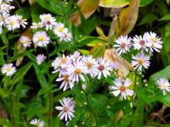冷たい秋雨に打たれながらも、淡い青紫色の野菊の花が私たちの目を楽しませてくれました。
