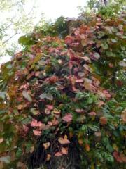 ボリュームのあるブドウのツルを見かけましたが、紅葉にはまだ日数がかかるようです。