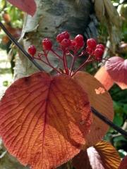 穏やかな秋の陽射しを一杯に受けて、オオカメノキの葉がまさにステンドグラスを見てるようでした。