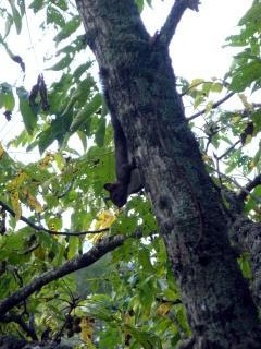 オニグルミの木を忙しそうに動き回るエゾリスと出会いました。