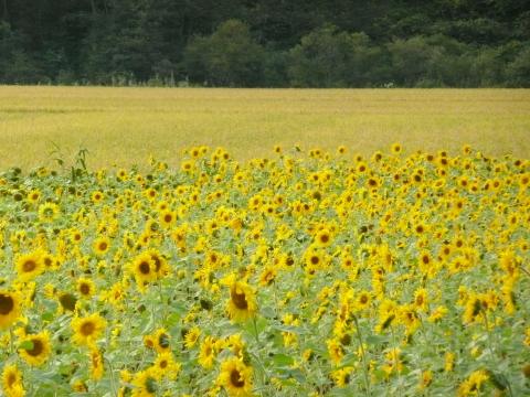 ヒマワリの色が夏の名残と、稔る稲穂の黄色が秋をかもしだし、北の季節の移ろいを印象づけていました。