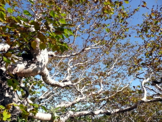 風雪に耐え抜いた、葉の枯れかかったダケカンバが姿を見せてくれます。