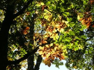 ようやく色づき始めた、ミズナラの葉が朝の光を受けて輝いていました。
