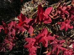 マシケオトギリソウの葉が真紅の色彩で最後の姿を見せていました。