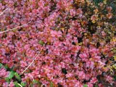 チングルマの紅葉を見ることが出来ました。
