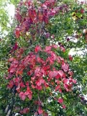 秋たわわ・・・真っ赤なカーテンの山ぶどうの紅葉です。
