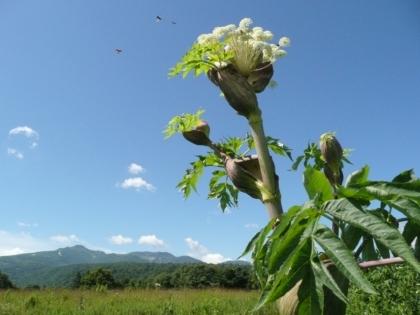 エゾニュウの花越しに遠望した暑寒別岳