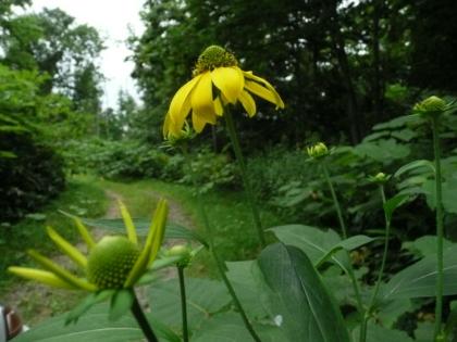 中幌糠林道では、オオハンゴンソウが咲きかけていました