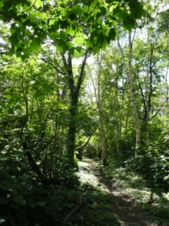 登山道では、イタヤカエデの葉が夏の強い陽射しを程よく遮り、涼しい木陰を作ってくれています