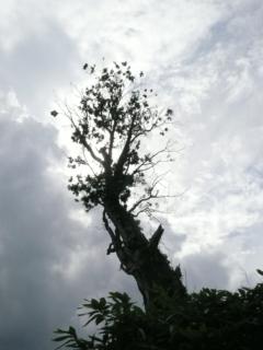 チバベリ106号林道に、シンボリックな大木がそびえ立っています