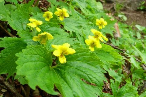 フギレオオバキスミレが咲き始めています。