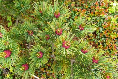 ハイマツの実が例年になく鮮やかな色彩を見せてくれています。