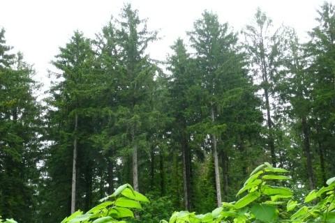 トーヒ沢林道ではまっすぐ伸びたトウヒが印象的です。