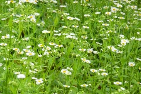 ポンルル2号林道で可憐なヒメジョオンの花が一斉に咲いていました。