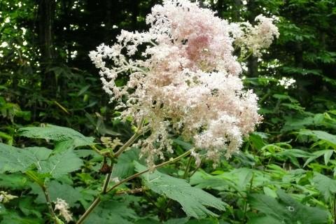 ポンルルモッペ林道の道端でボリュームのあるオニシモツケの花が印象的でした。
