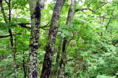 イタヤカエデの葉が雨でしっとりとした森の雰囲気を表現していました。