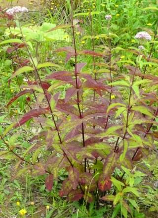 暗紅色に変わり始めたヨツバヒヨドリの葉