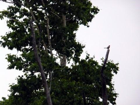 枯れ木でモズが鳴いていました