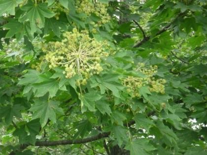 センノキの花