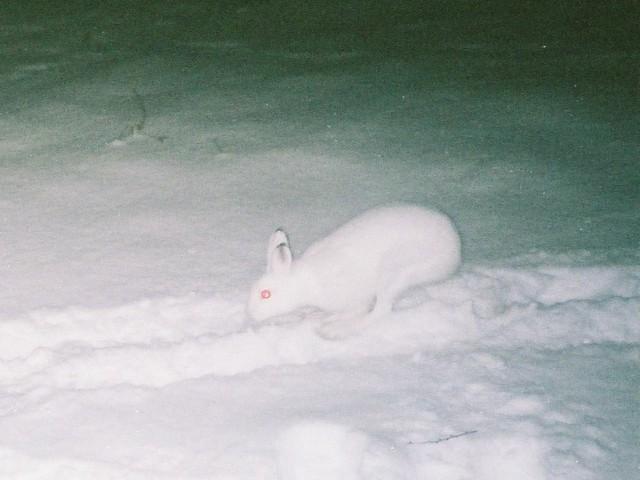 26ユキウサギ