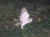 野生生物調査エゾフクロウの写真