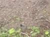 野生生物調査クロツグミの写真
