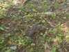 野生生物調査キジバトの写真