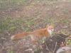 野生生物調査キタキツネの写真