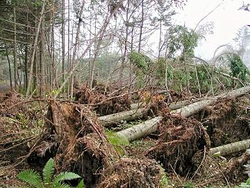 千歳市モーラップの森林風倒被害地