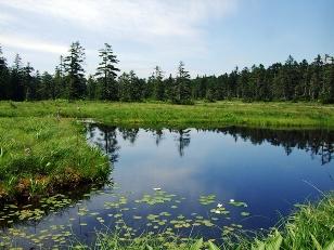 湿原に咲く「エゾヒツジグサ」