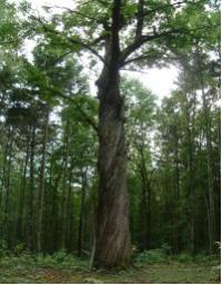 クリの巨木の写真