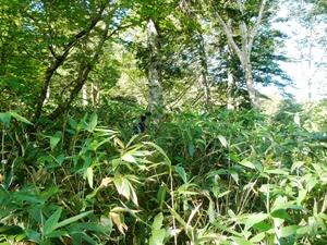 猛烈なチシマザサの藪で、すぐ前を歩く同僚を見失いそうになります