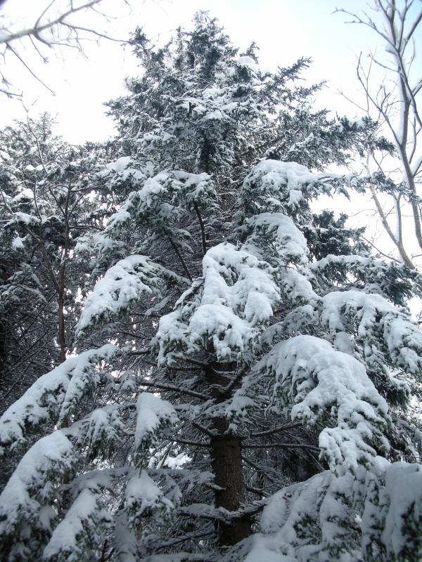トドマツ枝に雪1