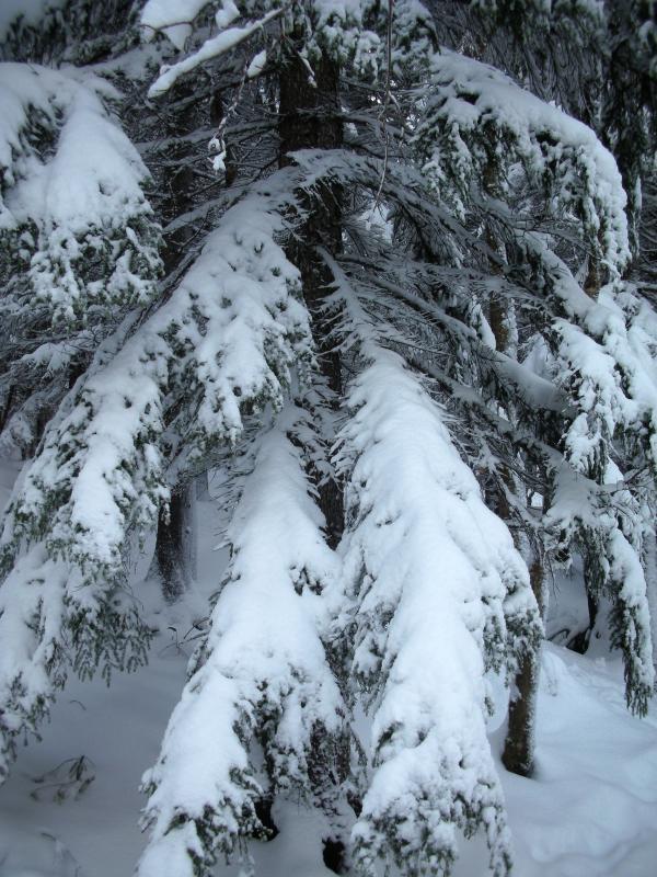 トドマツ枝に雪2