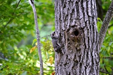 ジッと樹木のフリをしているかわらしいモモンガ